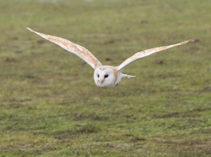 Barn owl in flight Jim Berkshire