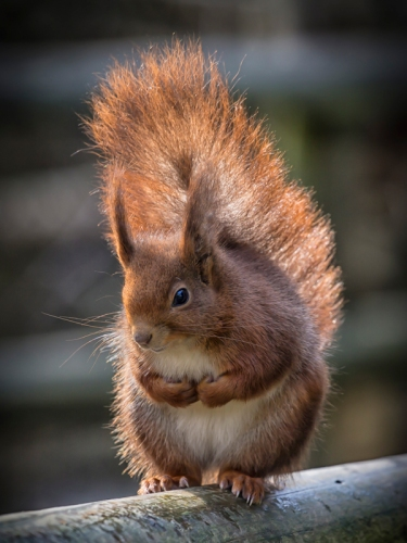 Red Squirrel in the Sun Jim Berkshire