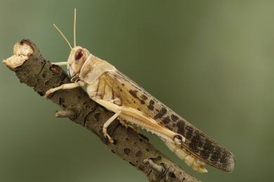 Locust Jim Berkshire