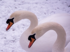 Swans in the snow Susan Grimes