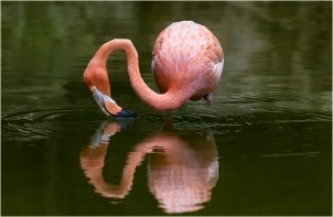 Flamingo (Phoenicopterus Ruber) Jim Berkshire