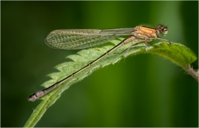 Blue Tailed Damselfly (Ischnura Elegans) Jim Berkshire