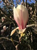 Magnolia Flower Jeff Royce