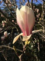 Magnolia Flower Jeff Royce