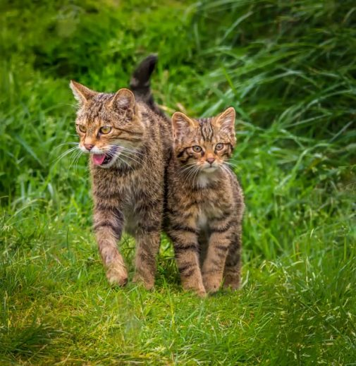 Scottish Wildcats by Susan Grimes