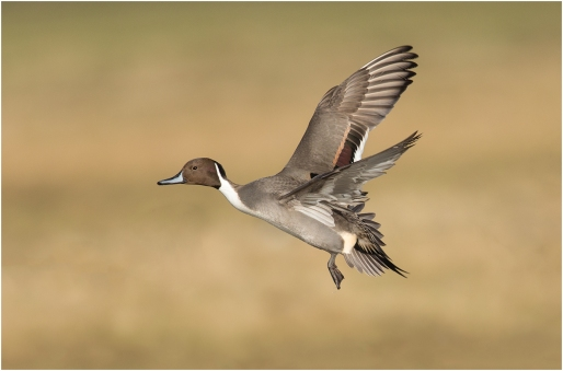 Northern Pintail coming in to land by Jim Berkshire