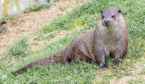 Otter by Susan Grimes