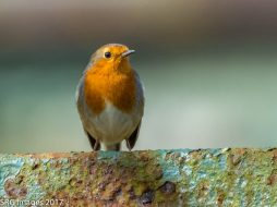 Robin by Susan Grimes