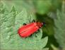 Black Headed Cardinal Beetle   by Robert Williams