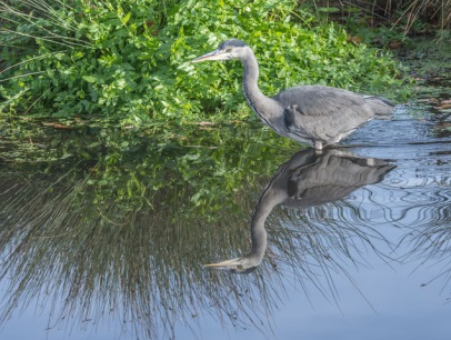 Reflecting Heron by Susan Grimes