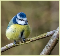 Bluetit by Susan Grimes