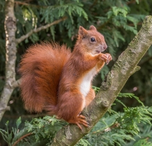 Red Squirrel by Susan Grimes