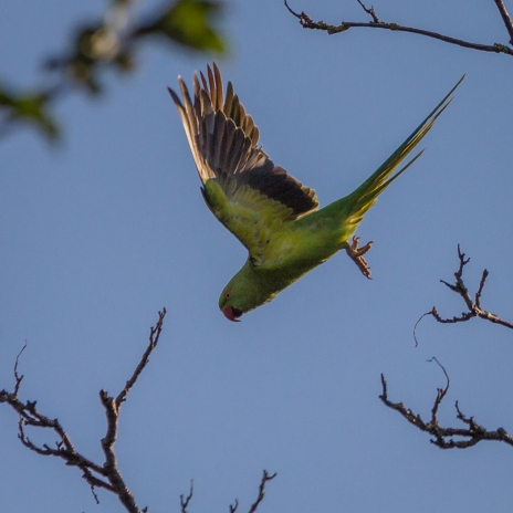Rose-ringed Parakeet by Den Heffernon