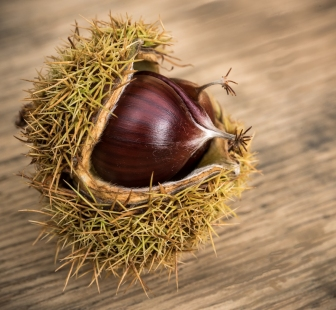 Sweet Chestnut Seeds by Jeff Royce