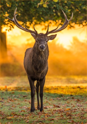 Stag at Sunrise by Jim Berkshire