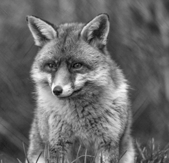 Sly Old Fox by Susan Grimes