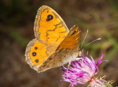 Wall brown butterfly (wild) by Jim Berkshire