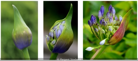 Agapanthus' Life Story by Margaret Stredwick