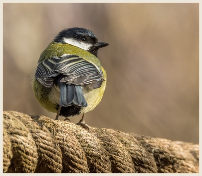 Great Tit by Susan Grimes