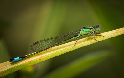 Female blue tailed Damselfly by Jim Berkshire