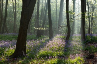 Rays and Bluebells by John McCarthy LRPS