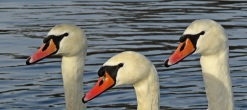 The three swans by Stephen Gates ARPS