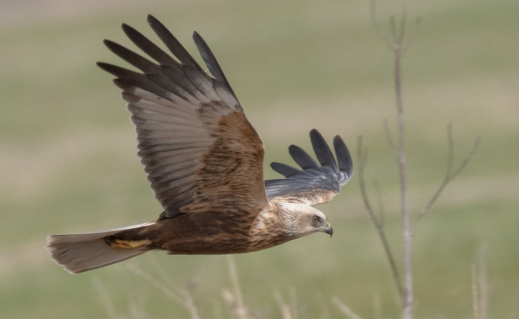 Marsh harrier on the prowl by Victor Pace