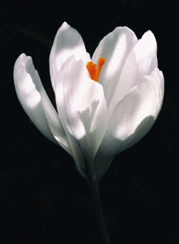 Crocus Light by Margaret Stredwick