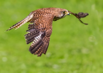 Female Kestrel in flight by Jim Berkshire