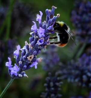 Lavender Lunch by Margaret Stredwick