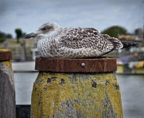 Resting Herring Gull by Jeff Royce