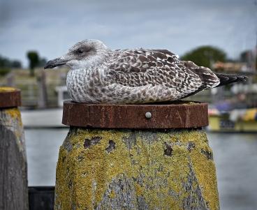 Resting Herring Gull by Jeff Royce