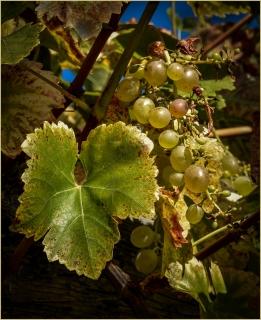 The Vine by Jeff Royce