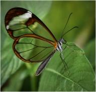 Glasswing Butterfly by Jeff Royce