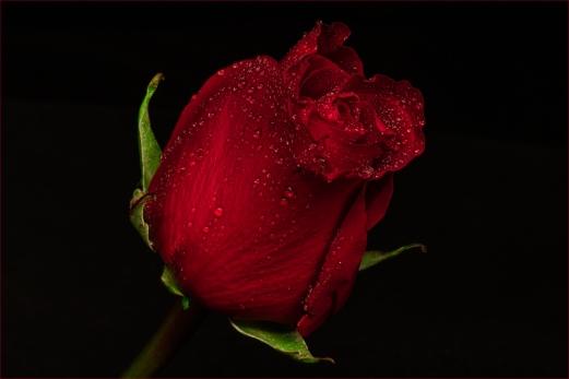 A single rose by Jim Berkshire