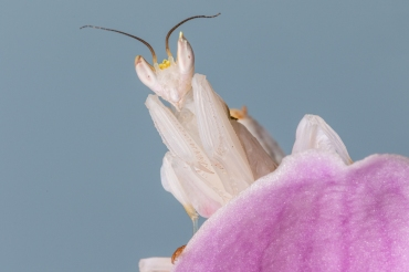 Orchid Mantis by Jim Berkshire