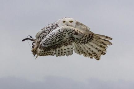 Snowy Owl by Den Heffernon