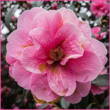 Karma Camellia by Den Heffernon