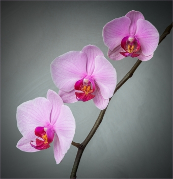 Pink Orchids by Jim Berkshire