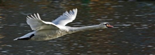 Mute Swan in Flight by Stephen Gates ARPS