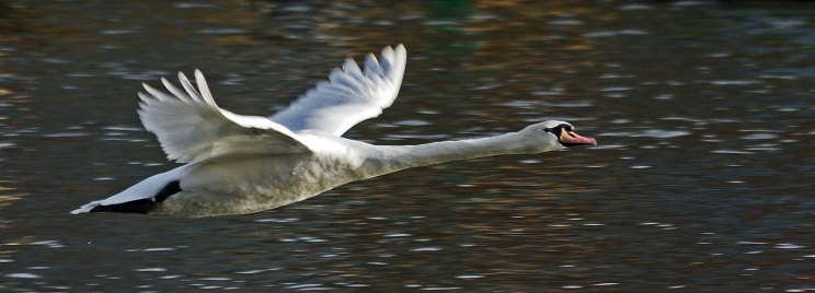 Mute Swan in Flight by Stephen Gates ARPS
