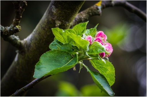 Apple Blossom by Den Heffernon