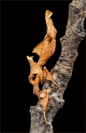 Ghost mantis (Phyllocrania paradoxa) by Jim Berkshire