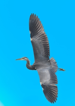 Heron in Flight by Jim Berkshire