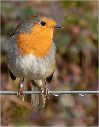 Robin on a Wire by Jeff Royce