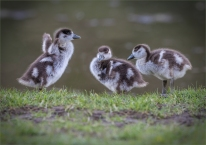 Three Egyptian Goose Goslings by Jim Berkshire