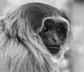 Gibbon by Jim Berkshire