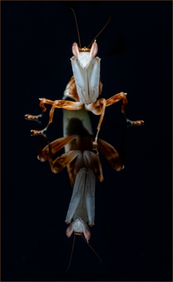 Ghost Mantis Reflection by Jim Berkshire