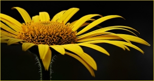 Golden Daisy by Margaret Stredwick