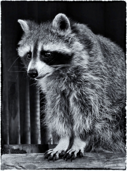 Racoon by Margaret Stredwick